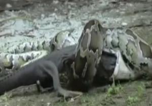 جدال مار پیتون غول پیکر و تمساح + فیلم