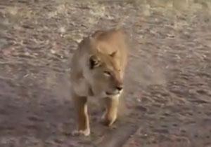 حملهی خونین شیر برای شکار گورخر + فیلم