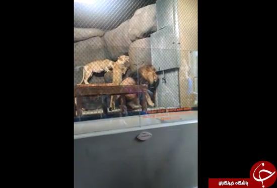 باغ وحشی که خیلی تصادفی دم شیر را قطع کرد + عکس