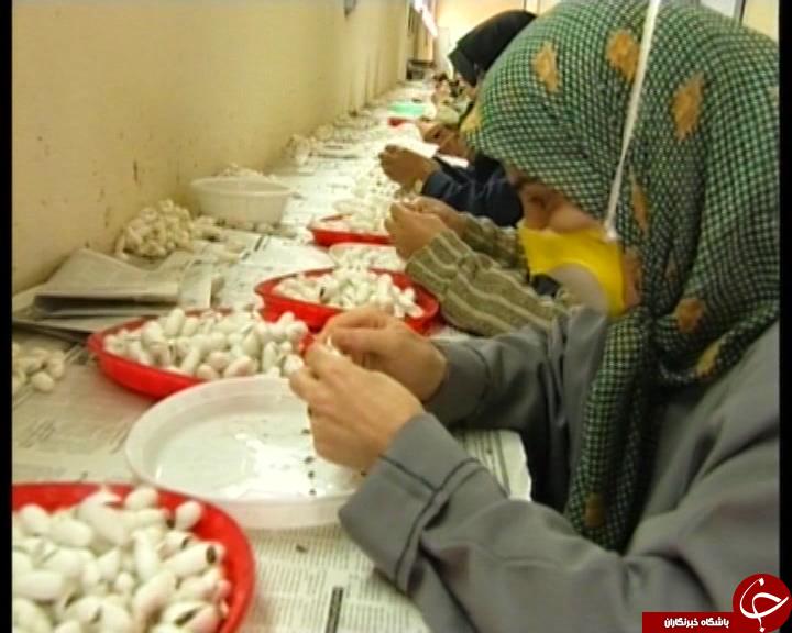 به اغما رفتن صنعت نوغانداری در مازندران