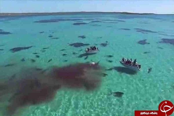 جنگ هفتاد کوسه با یک نهنگ+ فیلم و عکس