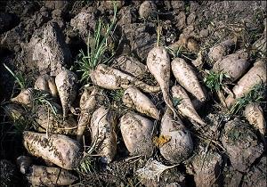 تولید 100 درصد بذر چغندرقند مورد نیاز کشور در اردبیل