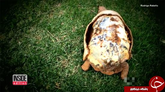 لاک نو برای لاکپشت + تصاویر