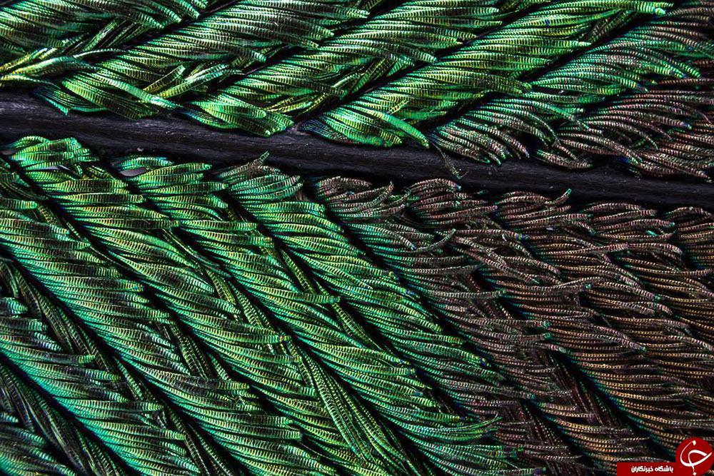 نماهای شگفت انگیز پر طاووس زیر ذره بین