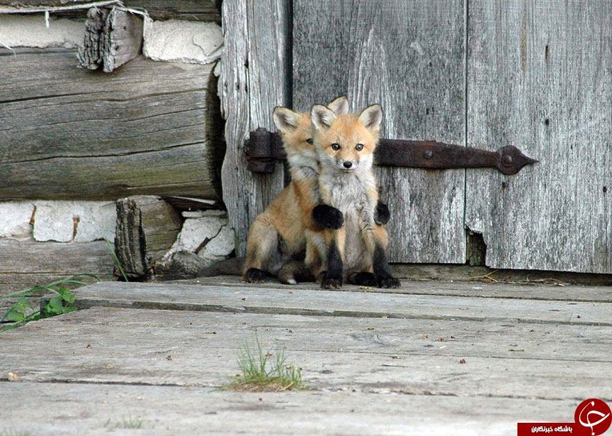 وقتی روباه ها سوژه داغ نشنال جئوگرافی می شوند+19 عکس
