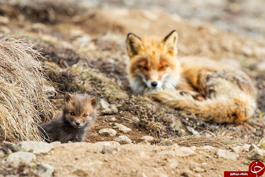 روباه ها سوژه داغ نشنال جئوگرافی شدند+ عکس