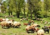 باشگاه خبرنگاران - یک جنگل در اختیار گوسفندها! + تصاویر