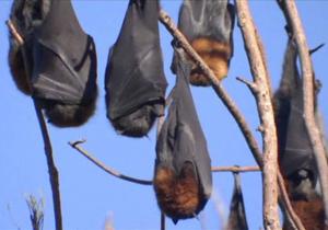 باشگاه خبرنگاران -حمله خفاشها به یک شهر