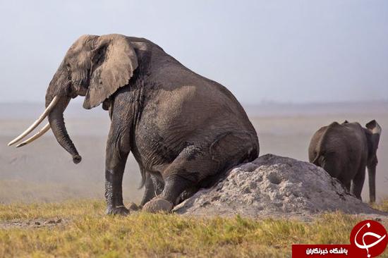 وقتی پشت یک فیل میخارد + تصاویر