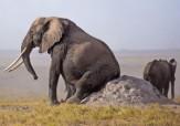 باشگاه خبرنگاران -وقتی پشت یک فیل میخارد + تصاویر