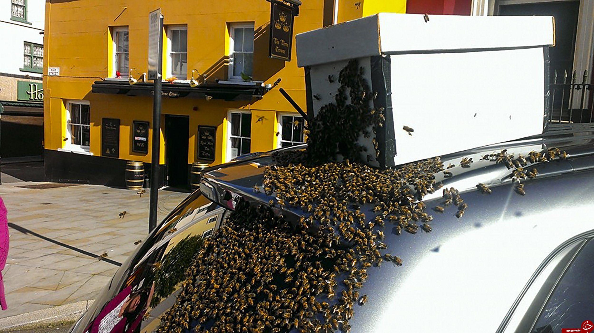 تعقیب وگریز زنبورهای عسل به خاطر نجات ملکه خود +تصاویر