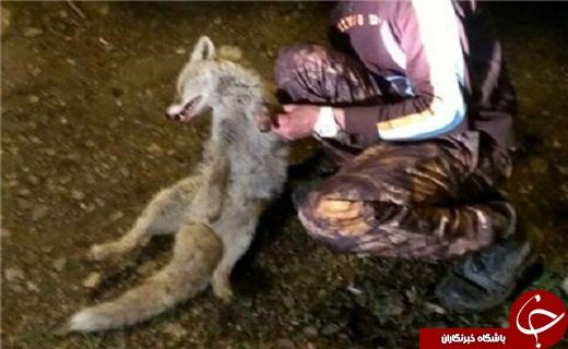 کشف قطعههای بدن گرگ و روباه، در خانه