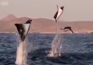 کلیپ نادیده و نایاب رقص سفره ماهی ها در آب های نقره ای + فیلم