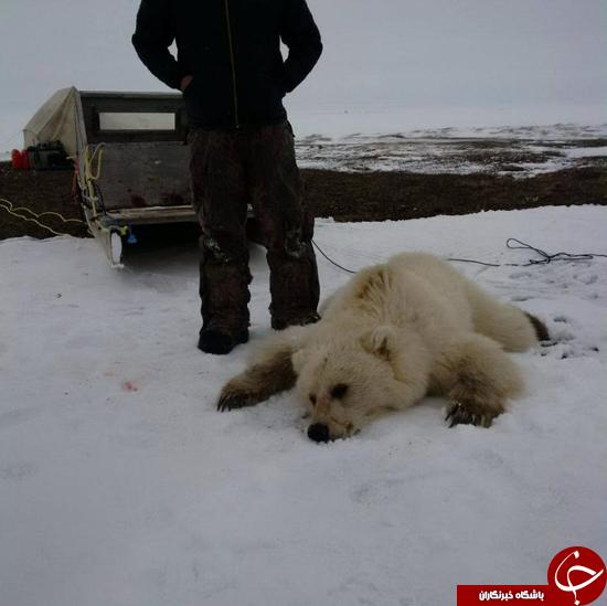 شکار کمیاب ترین خرس دنیا + تصاویر