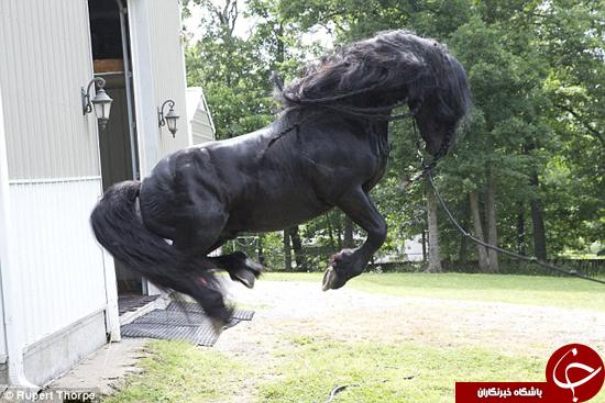 زیباترین اسب دنیا + تصاویر