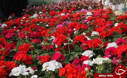 کارآفرینی جوان دامغانی و پرورش گلهای گلخانه ای