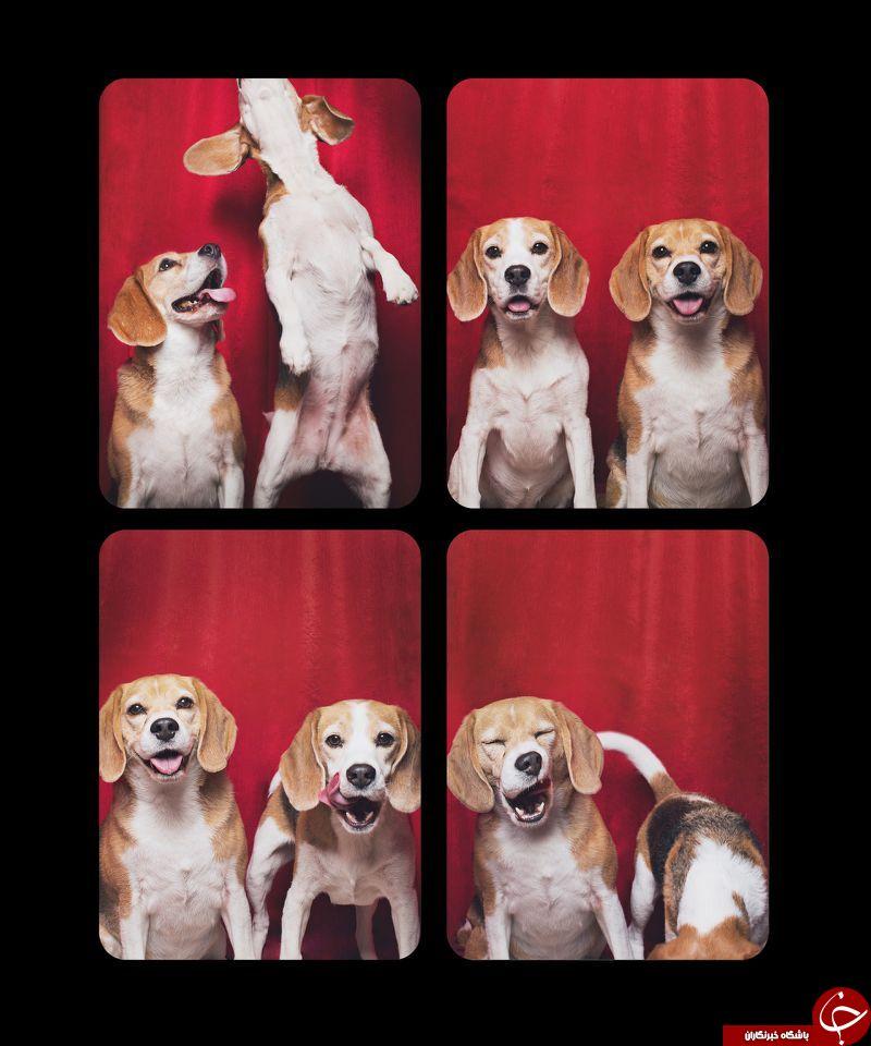 عکس سگ یال دار