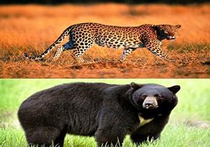 اما و اگرهای بیمه حیوانات در حال انقراض/بیمه خرس سیاه و قهوهای در راه است