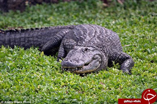 بیرون کشیدن تلفن همراه از دهان تمساح به خاطر چند عکس +تصاویر