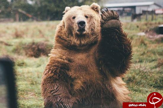 عکاسی که هنگام بازگشت به خانه توسط خرس بدرقه شد +عکس