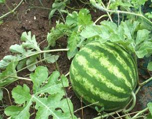 هندوانه آجیلی مهم ترین محصول تابستانی انابد