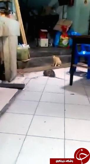 گربه با عقلی که از دعوای موش ها دوری کرد +تصویر