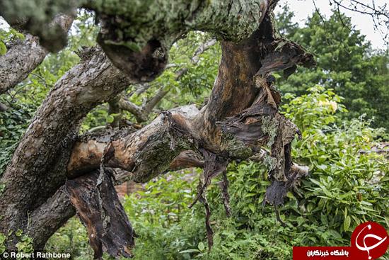 درخت 200 ساله در حال مردن است +تصاویر