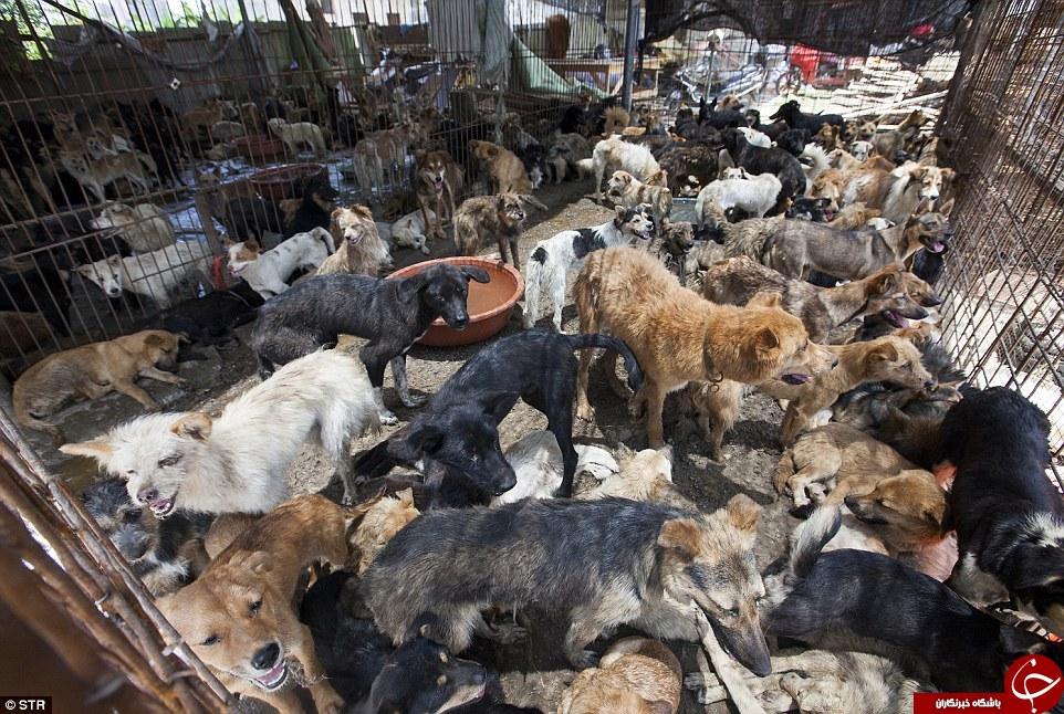 جشنوارۀ سلاخی سگها +تصاویر