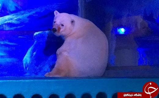اعتراض به محل زندگی غمگینترین خرس قطبی جهان!+ عکس