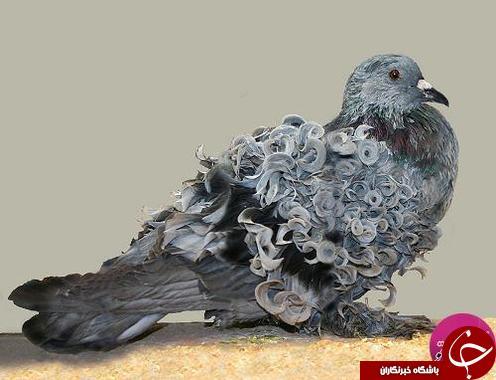 کلکسیونی از گرانبهاترین کبوتران در جهان