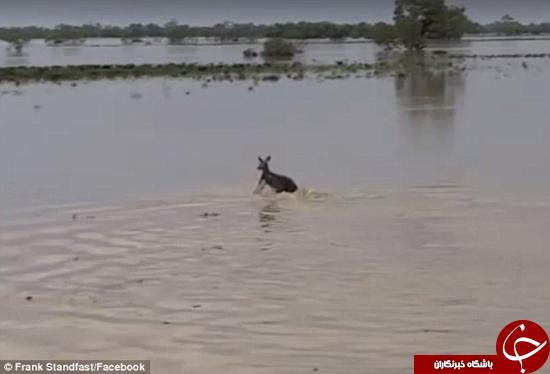 کانگورویی که تازه آب دیده است +تصاویر
