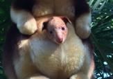 باشگاه خبرنگاران - تولد کانگوروی درختی بعد از 36 سال در باغ وحش +تصاویر
