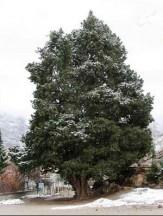 باشگاه خبرنگاران -7 درخت کهنسال خراسان جنوبی در فهرست میراث طبیعی به ثبت رسید