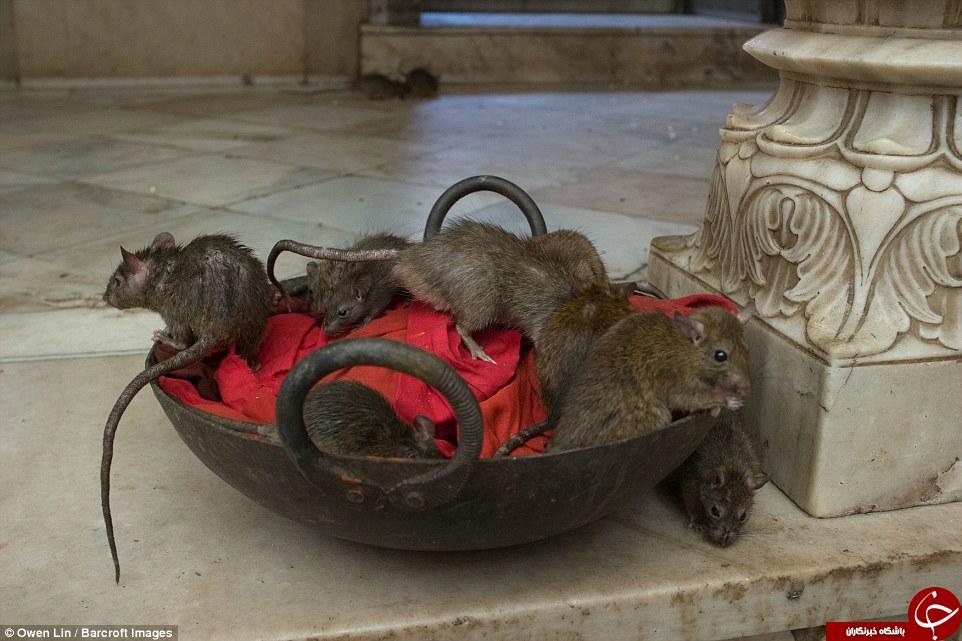 در هند موشها هم مقدسند