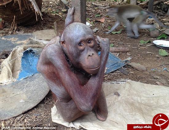 بد رفتاری با اورانگوتان باعث کچلی آن شد +تصاویر