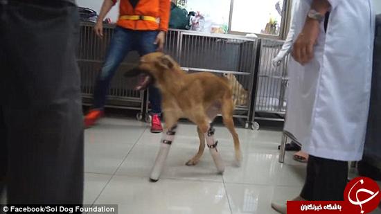 سگ تایلندی بعد از مدتی بالاخره میتواند راه برود +تصاویر