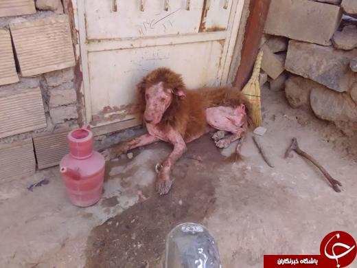 پیدا شدن یک شیر زخمی و بیمار در باغ + تصاویر