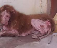 تکذیب پیدا شدن حیوانی شبیه شیر/ عکس متعلق به یک سگ بیمار است