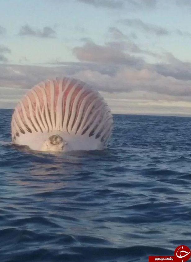 کشف یک موجود غولآسا شبیه به موجودات فضایی به وسیله یک ماهیگیر+تصاویر
