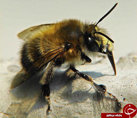 زندگی نوعی زنبور در میان مواد مذاب آتشفشانی +تصاویر