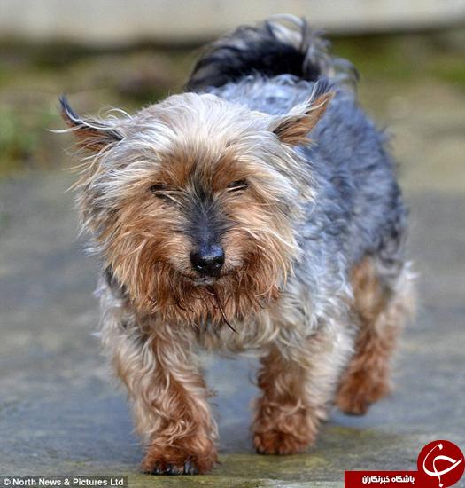 پیر ترین سگ بریتانیا جان خود را در حادثه از دست داد +تصاویر