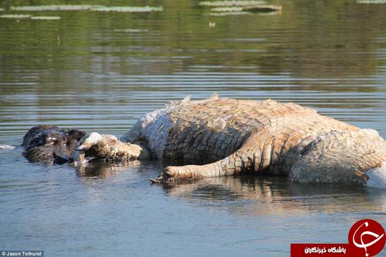هم نوع خواری به تمساحها هم سرایت کرده است +تصاویر