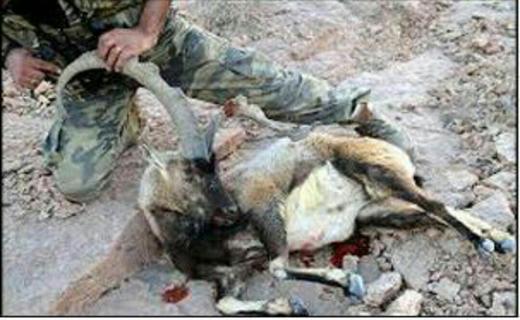 دستگیری شکارچی بز وحشی در دورود