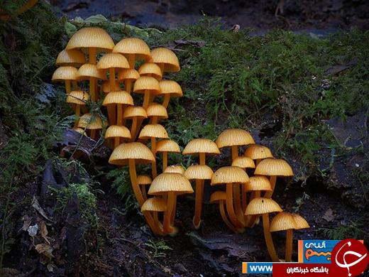 عکس/ گونههایی بینظیر از قارچهای غول پیکر