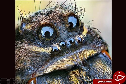 صورت عنکبوت از نمای کاملا نزدیک