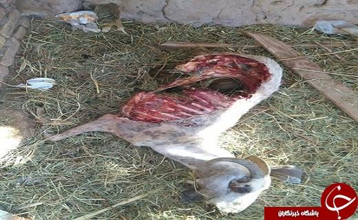 حمله حیوان ناشناخته به شهداد/افسانه و شایعه به هم پیوند می خورد