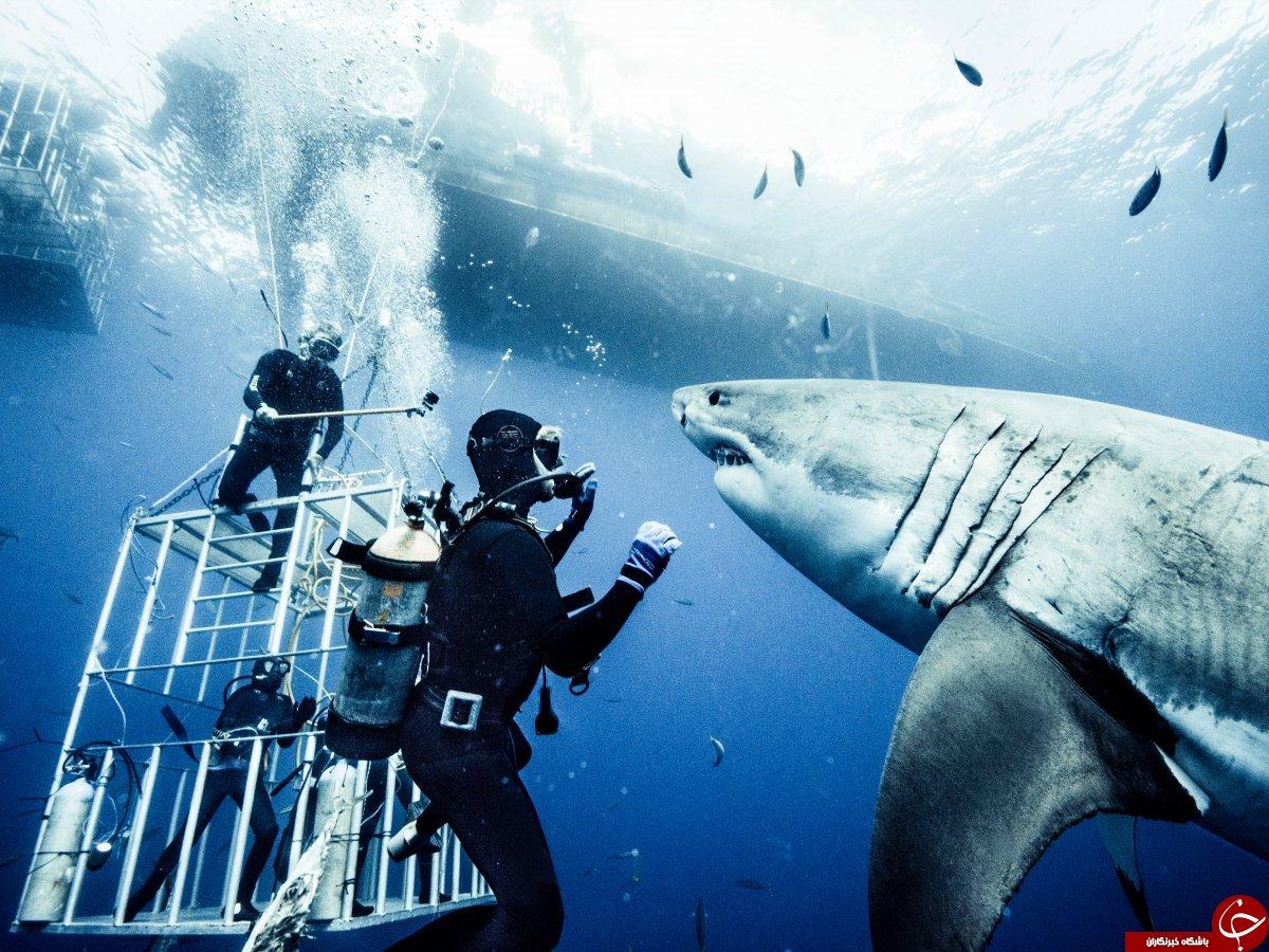 یک عکاس برای تهیه این تصاویر خیرهکننده 10 سال با کوسهها شنا کرده است+ 9 عکس