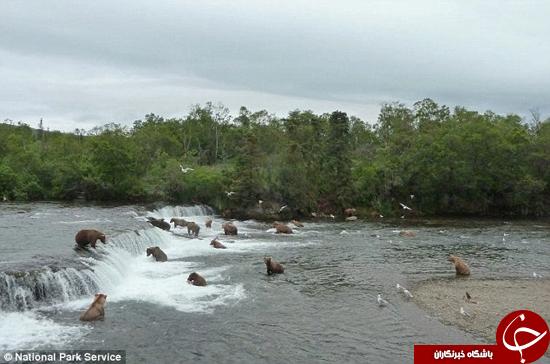 خرس مادری که آبشار را شکست داد +تصاویر