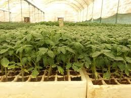 تولید سالانه 850 میلیون اصله نشاء در بوشهر