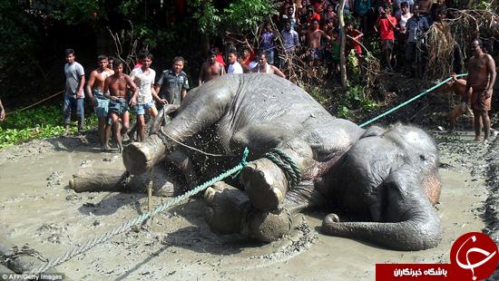 سیلی که فیل را کشت +تصاویر